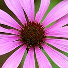 Purple Coneflower by Alana Ranney