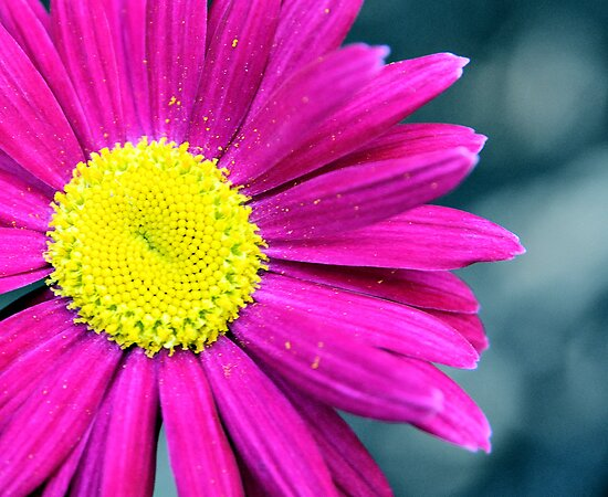 Painted Daisy Macro by Kim McClain Gregal