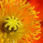 Poppy Sunrise by Lorraine Deroon