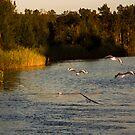 Seagulls head upstream by Bill  Russo