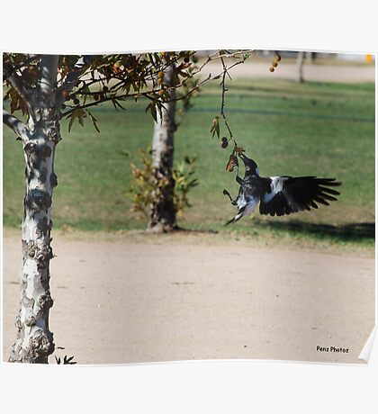 Magpie eating nuts Poster