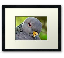 "Band-tailed ""Cutie Pie"" Pigeon Framed Print"
