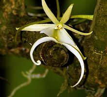 The Elusive Ghost Orchid by ggpalms