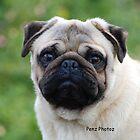 Pug by Penny Brooks