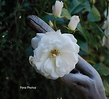 Rose by Penny Brooks
