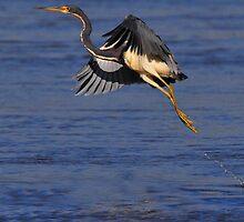 Heron taking flight by AmyCK