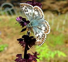 Dainty Butterfly And Basil Flower by Catherine  Howell