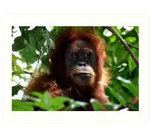 Orangutan in Sumatra Art Print