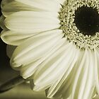 White Gerbera Flower by Neil Clarke
