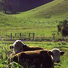 Bulls, Mullumbimby, NSW, Australia by Fossdos