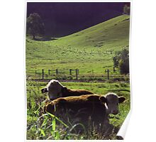 Bulls, Mullumbimby, NSW, Australia Poster