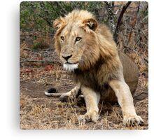 Lion Focus Canvas Print