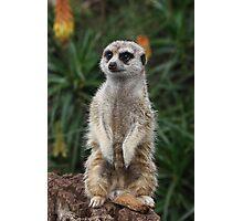meerkat stands lookout Photographic Print