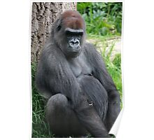 gorilla rests against a tree Poster