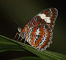 beautiful butterfly perches on a leaf by possumgirl