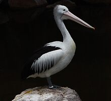 pelican poised on a rock by possumgirl