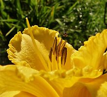 The Daylily and the Bee by mindy23