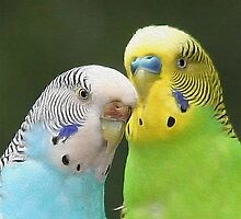 Budgie Buddies by JimPavelle