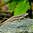 Hispaniolan Maskless Curlytail by Robert Abraham