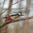 Common Woodpecker by David Freeman