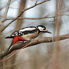 Common Woodpecker by David Freeman
