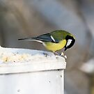 Great Tit 4 by David Freeman