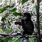 Gorilla Jr - Bwindi Impenatrable National Park, Uganda. by Derek McMorrine
