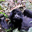 Gorilla Contact - Bwindi Impenatrable National Park, Uganda by Derek McMorrine