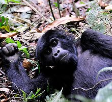 Gorilla Contact - Bwindi Impenatrable National Park, Uganda by Derek McMorrine
