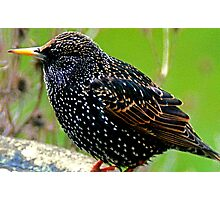 Startling Starling Photographic Print