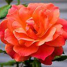 Last Bloom by Carrie Bonham