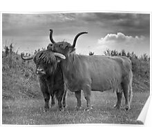 Highland Cows (2 of 2) Poster