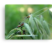 Assassin Bug Nymphs on Oats Metal Print