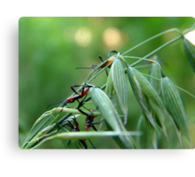 Assassin Bug Nymphs on Oats Canvas Print