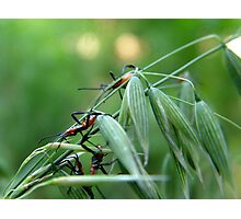 Assassin Bug Nymphs on Oats Photographic Print