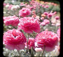 Pink Ranunculus  - Los Angeles, California by April Rocha
