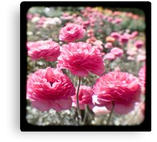 Pink Ranunculus  - Los Angeles, California Canvas Print