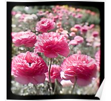 Pink Ranunculus  - Los Angeles, California Poster