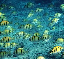 Convict Surgeonfish - Ningaloo Reef, Australia by James Farnan