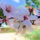 Peach blossom by medley
