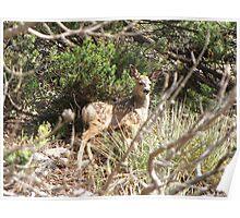 Mule Deer ~ Fawn Poster