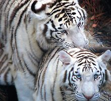 White Bangle Tigers by Colleen Rohrbaugh