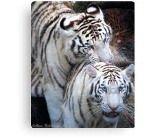 White Bangle Tigers Canvas Print