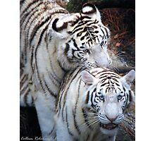 White Bangle Tigers Photographic Print