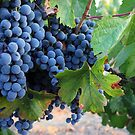 Malbec Grapes by CherylBee