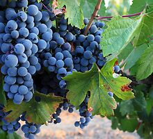 Malbec Grapes by CherylBee