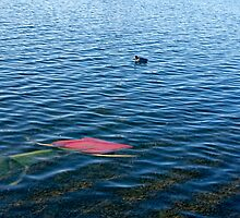 A rose laying in the lake by happyphotos