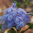 Plumbago by Lozzar Flowers & Art