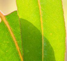 Eucalypt leaves Sticker
