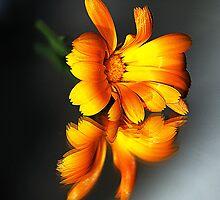 Daisy - (Colour Version) by MoGeoPhoto
